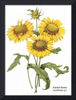 Blanket Flower (Gailliarda sp.) Botanical Art