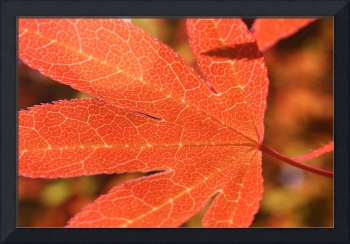 japanese_maple_leaf_close
