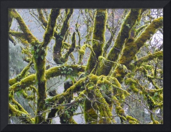 Moss Cloaked Trees