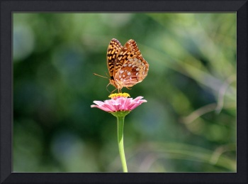 Great Spangled Fritillary Butterfly in Garden 2016