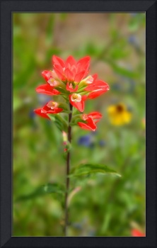 Texas Red Indian Paintbrush