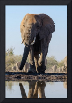Large Elephant Walking to Water with Reflection