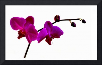 red orchid 11x18 copy