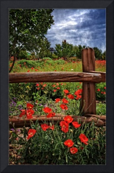 Poppies in the Texas Hill Country