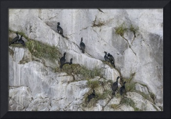 Cormorants Nesting on Cliffs of Marble Islands