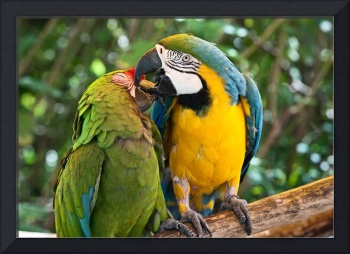 Green, Blue and Gold Birds - Macaws in  Love
