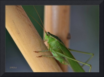 Katydid Resting on Bamboo