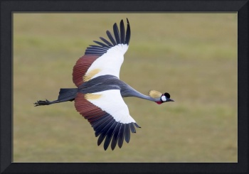 Close-up of a Crowned crane flying