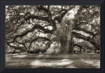 Majestic Angel Oak Tree