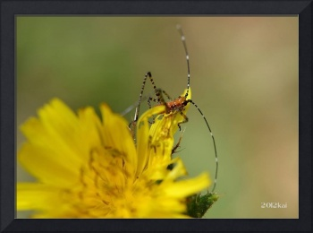 Grasshopper on a tiny Dandelion Flower