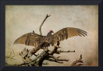 Turkey Vulture [Cathartes aura]