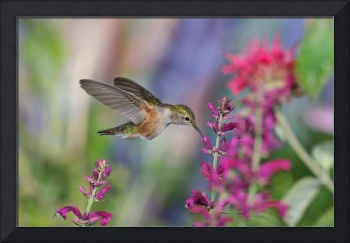 Broad-tailed Hummingbird flight