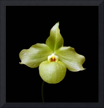 Chartreuse Lady's-slipper