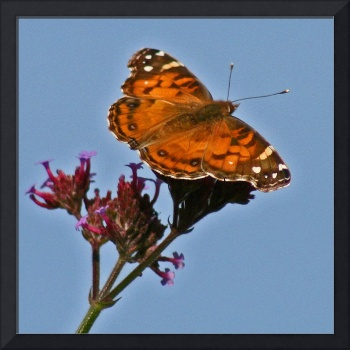 Butterfly American Lady & Blue Sky Square format