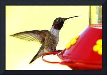 broad tailed hummingbird blur male red canyon awes