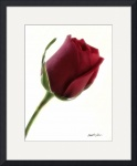 Red Rose on White small framed preview