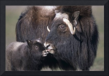 Adult female Musk Ox with calf at the Alaska Wildl