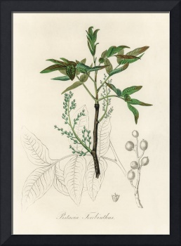 Vintage Botanical Terebinth