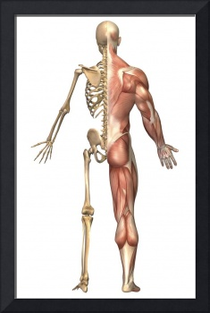 The human skeleton and muscular system, back view
