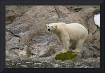 Polar Bear balances on a rock