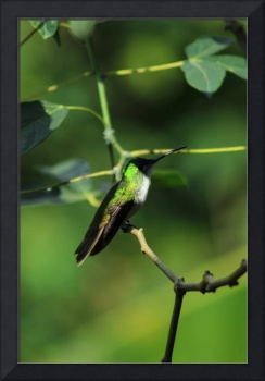 Andean Emerald Hummingbird in Shade