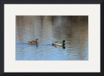 Pair of Mallards IMG_3635 by Jacque Alameddine