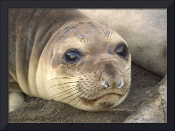 Young Elephant Seal pup