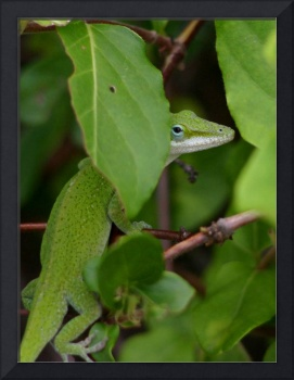 Peeking Anole Lizard