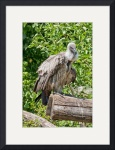 African White Backed Vulture by Rich Kaminsky