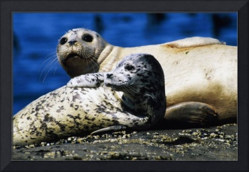 Mother Harbor Seal With Pup (Phoca Vitulina)