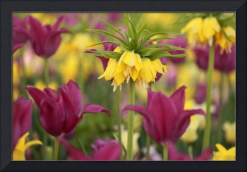 Yellow crown imperial tulip in flower bed