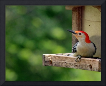 Redbellied Woodpecker on Bird Feeder