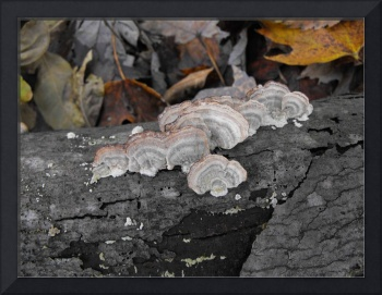 Turkey Tail Forest Fungus