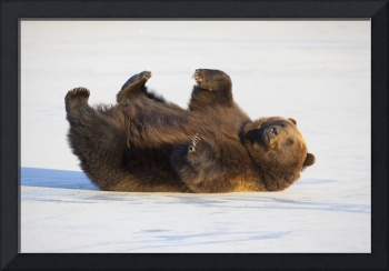 Brown Bear Rolling On Its Back In The Snow, Wildli