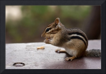 Alert Chipmunk Sitting and Eating on Picnic Table