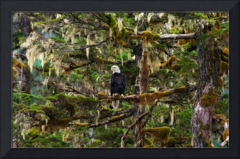 Eagle On Moss Canvas