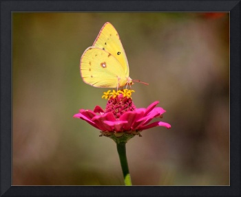 Cloudless Sulphur Butterfly Brown Background 2014