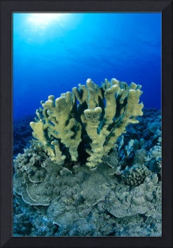 Hawaii, Close-Up Of Single Group Of Antler Coral G