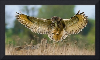 Majestic Owl On The Hunt
