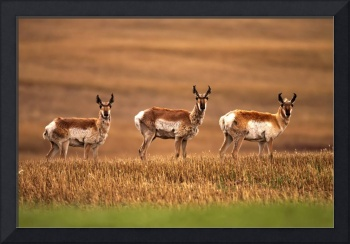 Pronghorn Antelope In A Cultivated Farmers Field,