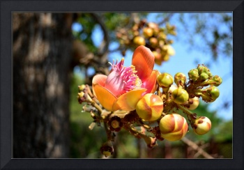 Cannonball Tree Flower in Bloom with Ants at Work