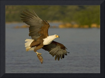 African Fish Eagle (Haliaeetus Vocifer) with a ti