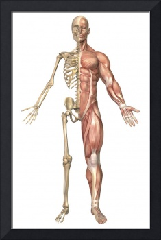 The human skeleton and muscular system, front view