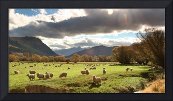 New Zealand sheep pasture