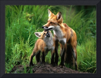 Red Fox Mother Cares For Cub