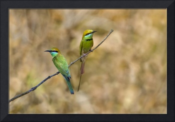 Two Green Bee Eaters Merops orientalis perching o