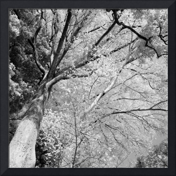 Trees in Infrared #1