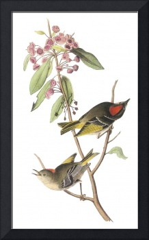 Ruby-Crowned Kinglet Bird Audubon Print