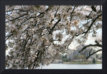 Cherry Blossom Peak Bloom Washington DC no-13