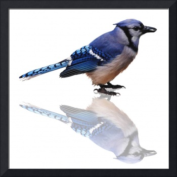 Blue Reflections Blue Jay